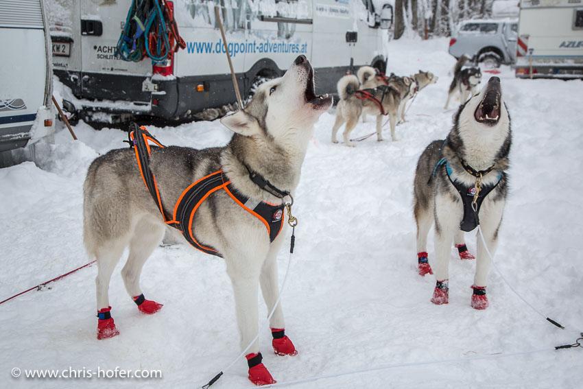 Hundeschlittenrennen Werfenweng 08.01.2017 Foto: Chris Hofer Bild zeigt: die Hunde von Lisa Klaushofer ungeduldig vor dem Start